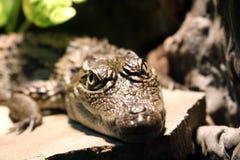 Piccolo alligatore che riposa sulle rocce Fotografia Stock Libera da Diritti