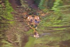 Piccolo alligatore nel fiume nel Borneo Fotografia Stock