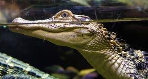 Piccolo alligatore nello stagno dell'acqua dolce Fotografia Stock Libera da Diritti