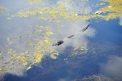 Piccolo alligatore in uno stagno Immagini Stock