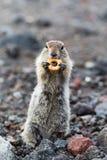 Piccolo animale selvaggio - scoiattolo a terra a coda lunga Fotografia Stock Libera da Diritti