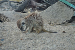 Piccolo animale sulla sabbia Fotografia Stock
