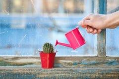 Piccolo annaffiatoio rosa in una mano femminile che innaffia un cactus sull' Fotografia Stock Libera da Diritti