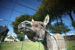 Piccolo asino grigio Fotografia Stock
