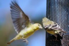 Piccolo atterraggio dell'uccello su un alimentatore immagini stock libere da diritti