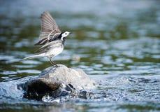 Piccolo atterraggio sveglio dell'uccello su una roccia del fiume Fotografie Stock