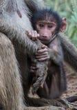 Piccolo babbuino nell'abbraccio della madre Fotografie Stock