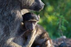 Piccolo babbuino nell'abbraccio della madre Immagine Stock