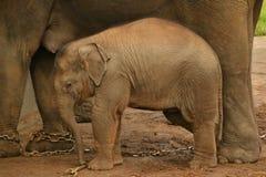 Piccolo bambino dell'elefante, fauna selvatica, mammiferi Immagine Stock