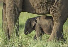Piccolo bambino dell'elefante, fauna selvatica, mammiferi Fotografie Stock