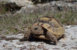 Piccolo bambino della tartaruga su una roccia nella primavera Fotografie Stock