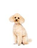Piccolo barboncino dell'albicocca che si siede su un fondo bianco Fotografia Stock Libera da Diritti