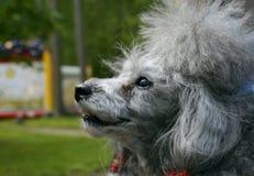 Piccolo barboncino grigio del cane fotografie stock libere da diritti