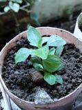 piccolo basilico in vaso riciclato fotografie stock