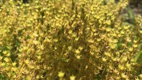 Piccolo bello Bush giallo con i fiori stock footage