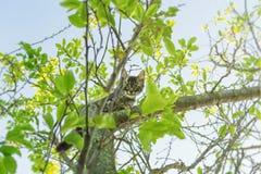 Piccolo bello giovane gatto grigio che scala grande albero e che guarda giù diritto la macchina fotografica fotografia stock libera da diritti
