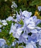 Piccolo bello insieme dei fiori bianchi con le linee porpora Immagine Stock Libera da Diritti
