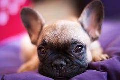 Piccolo bulldog francese Fotografie Stock Libere da Diritti