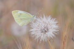 Piccolo butterfyl giallo Immagini Stock