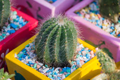 Piccolo cactus Fotografia Stock
