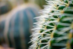 Piccolo cactus Immagini Stock Libere da Diritti