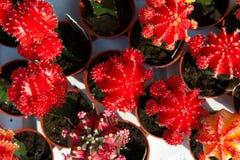 Piccolo cactus con i fiori rossi Fotografia Stock Libera da Diritti
