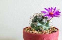 Piccolo cactus con il fiore della fioritura nel vaso da fiori all'angolo Immagine Stock Libera da Diritti