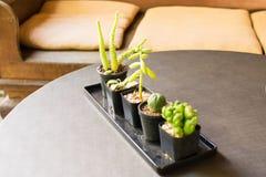 Piccolo cactus e piccola decorazione della casa della pianta ornamentale Immagini Stock