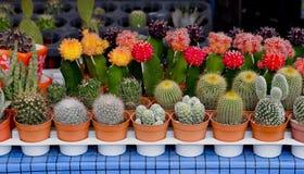 Piccolo cactus in flowerpot Immagini Stock