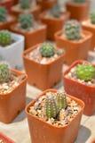 Piccolo cactus in POT Fotografia Stock