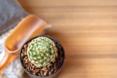 Piccolo cactus & x28; Schiedeana& x29 di mammillaria; con la piantatura suolo, il suolo giapponese di Akadama e di piccola pala d immagini stock libere da diritti