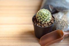 Piccolo cactus & x28; Schiedeana& x29 di mammillaria; con la piantatura suolo, il suolo giapponese di Akadama e di piccola pala d fotografia stock