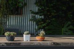 Piccolo cactus tre in un vaso immagine stock libera da diritti