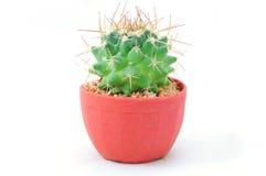 Piccolo cactus in un POT Fotografia Stock Libera da Diritti