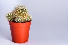 Piccolo cactus in un POT Fotografie Stock Libere da Diritti
