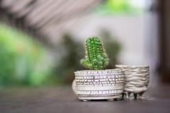Piccolo cactus verde Immagini Stock