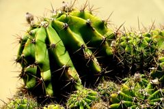 Piccolo cactus verde con i grandi aghi taglienti immagini stock