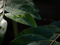 Piccolo Caelifera sulle foglie del curry immagini stock libere da diritti