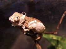 Piccolo camaleonte Fotografie Stock