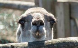 Piccolo cammello immagini stock libere da diritti
