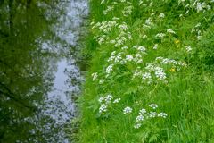 Piccolo canale con l'acqua corrente, i grandi alberi ed i lati dell'erba verde in vecchia città Heusden, il Brabante Settentriona fotografia stock