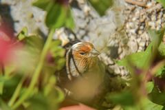 Piccolo canarino arancio dell'uccello nascosto nell'erba fotografia stock