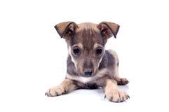 Piccolo cane fotografie stock libere da diritti