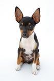 Piccolo cane Fotografia Stock Libera da Diritti