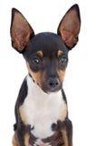 Piccolo cane Fotografia Stock