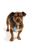 Piccolo cane fotografie stock