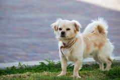 Piccolo cane Immagine Stock