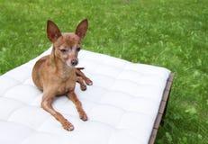 Piccolo cane Immagini Stock Libere da Diritti