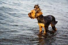 Piccolo cane in acqua fotografia stock