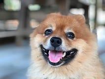 Piccolo cane adorabile Immagini Stock Libere da Diritti